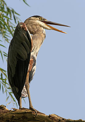 Photograph - Great Blue Heron by Juergen Roth