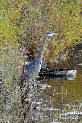 Photograph - Great Blue Heron - Juvenile by Laurel Best