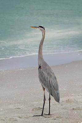 Photograph - Great Blue Heron by Kim Hojnacki