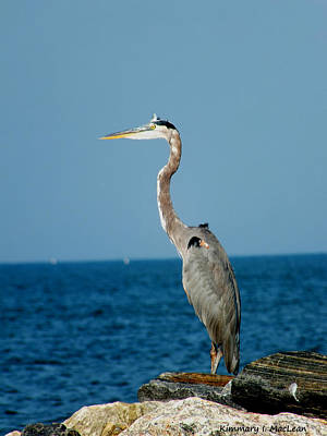 Ebsq Digital Wall Art - Photograph - Great Blue Heron by Kimmary MacLean