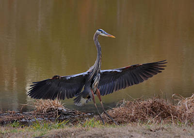 Great Blue Heron Landing Airplane Style -9911k      Art Print