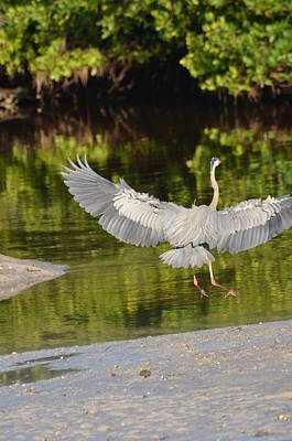 High Iso Photograph - Great Blue Heron Landing by Chris Tennis