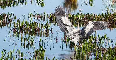 Photograph - Great Blue Heron Landing In Marsh by Karen Stephenson
