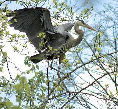 Photograph - Great Blue Heron Landing In Tree by Jeanne Kay Juhos