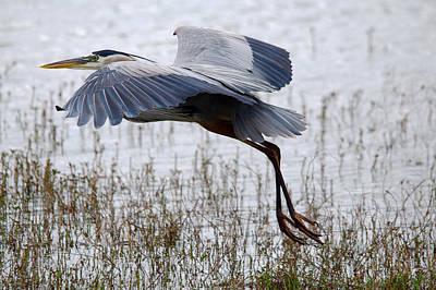 Great Blue Heron Landing Series 3 Art Print