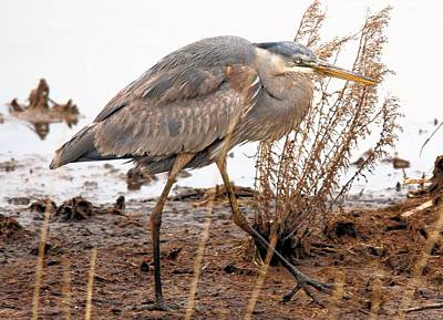 Great Blue Heron Art Print by Linda  Barone