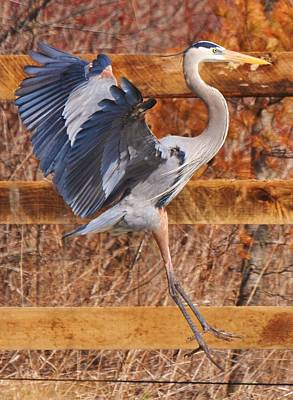Photograph - The Great Blue Heron by Lisa  DiFruscio
