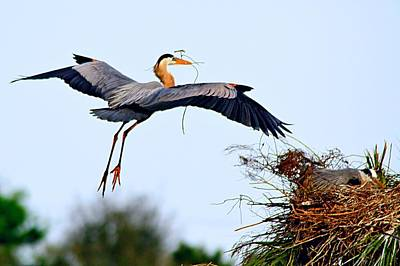 Photograph - Great Blue Heron Nesting by Ira Runyan