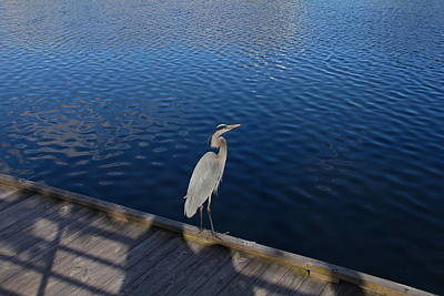 Photograph - Great Blue Heron On A Dock by Denise Mazzocco