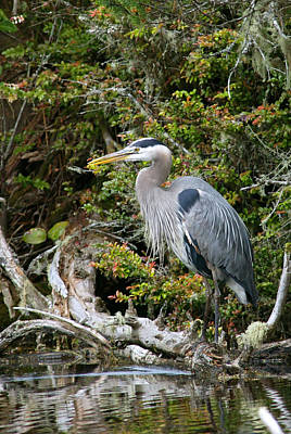 Great Blue Heron On Log Print by Randall Ingalls