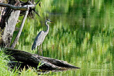 Photograph - Great Blue Heron On The River  by Andrea Kollo