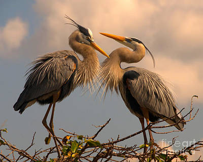 Photograph - Great Blue Heron Pair Courting by Jane Axman