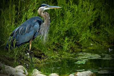 Photograph - Great Blue Heron by Patrick Boening