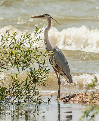 Photograph - Great Blue Heron by Patti Raine