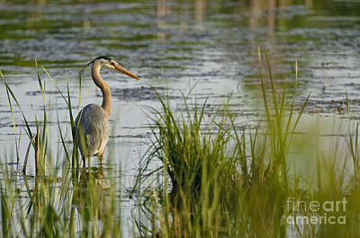 Animal Watercolors Juan Bosco - Great Blue Heron Pictures 564 by World Wildlife Photography