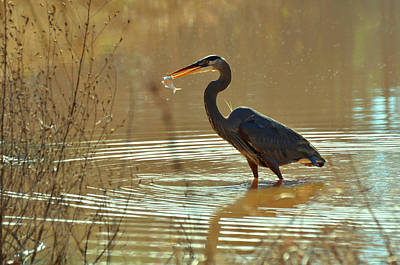 Great Blue Heron Pond Catch - C3197p Art Print