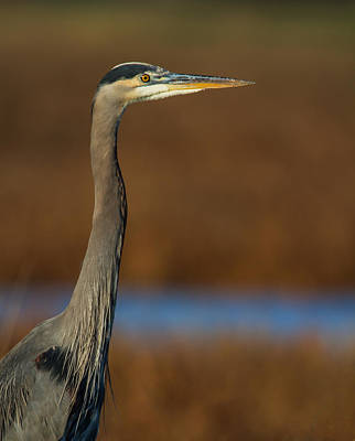 Photograph - Great Blue Heron Portrait 2 by Angie Vogel