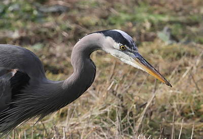 Photograph - Great Blue Heron Portrait by Angie Vogel