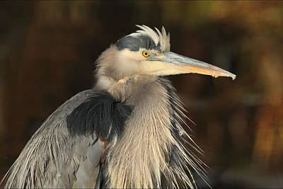 Photograph - Great Blue Heron Portrait by Daniel Behm