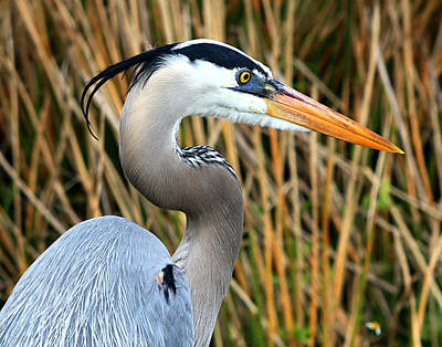 Photograph - Great Blue Heron Portrait by Ira Runyan