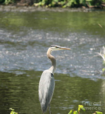 Photograph - Great Blue Heron Portrait by Neal Eslinger
