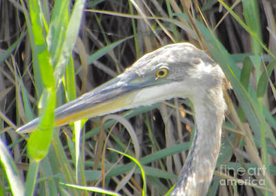 Great Blue Heron Profile Original