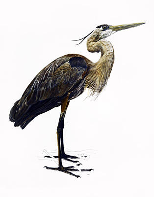 Great Blue Heron Art Print by Rachel Root