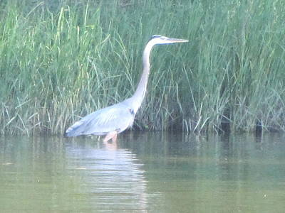 Photograph - Great Blue Heron Reflecting by Debbie Nester