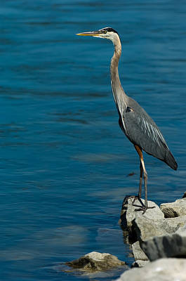 Photograph - Great Blue Heron by Sebastian Musial