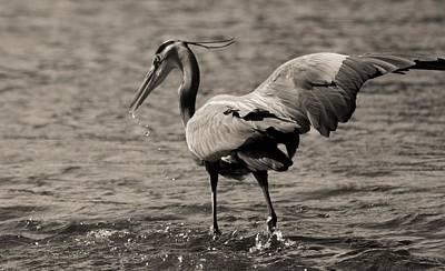 D Wade Photograph - Great Blue Heron Splash by Dan Sproul