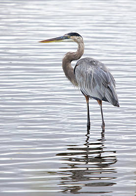 Photograph - Great Blue Heron Standing In Water by Dorothy Cunningham