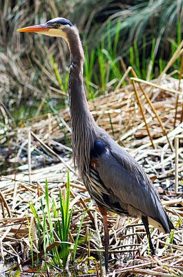 Photograph - Great Blue Heron Standing Tall by Terry Elniski