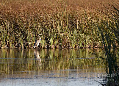 Great Blue Heron Art Print by Steven Ralser