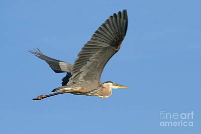 Great Blue Heron Summer Flight Over Roseland Lake  Art Print by Neal Eslinger