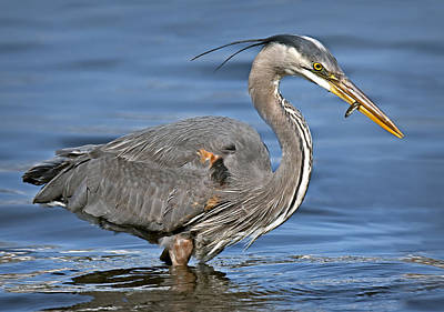 Photograph - Great Blue Heron by Susan Candelario