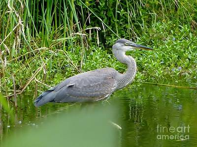 Photograph - Great Blue Heron  by Susan Garren