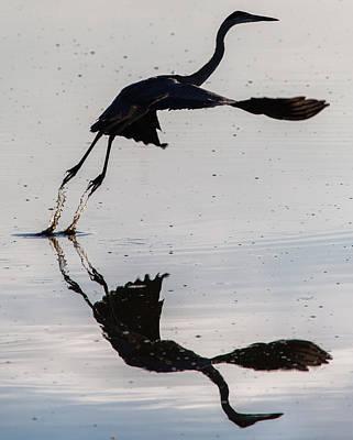 Great Blue Heron Takeoff Art Print by John Daly