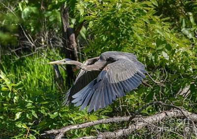 Photograph - Great Blue Heron Takes Flight by Kathy Baccari