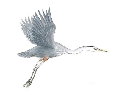 Painting - Great Blue Heron Taking Off by Anna Bronwyn Foley