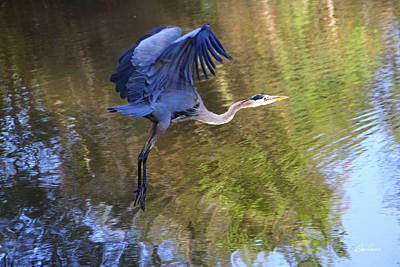 Photograph - Great Blue Heron Taking Off by Diana Haronis