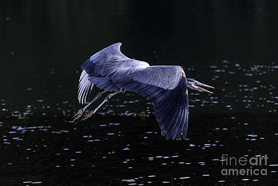 Tim Moore Photograph - Great Blue Heron by Tim Moore