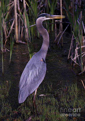 Photograph - Great Blue Heron 2 by Tom Brickhouse