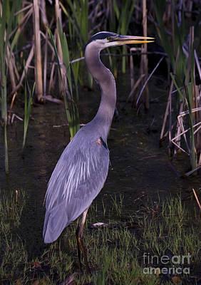 Photograph - Great Blue Heron by Tom Brickhouse