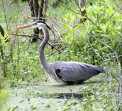 Photograph - Great Blue Heron Wading In Swamp by Jeanne Kay Juhos