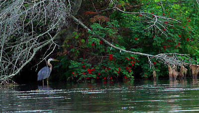 Photograph - Great Blue Heron Wading by James Hammen