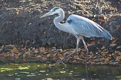 Photograph - Great Blue Heron Wading by Jeanne Kay Juhos