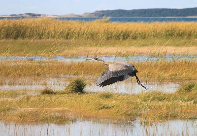 Wellfleet Photograph - Great Blue Heron Wellfleet Bay Marsh by John Burk