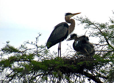 Baby Bird Photograph - Great Blue Heron With Fledglings II by Suzanne Gaff