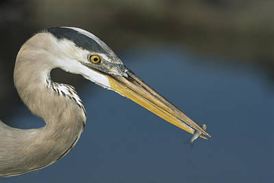 Great Blue Heron With Juvenlile Mullet Print by Tui De Roy