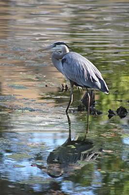 Photograph - Great Blue Heron With Reflection by Jeanne Kay Juhos